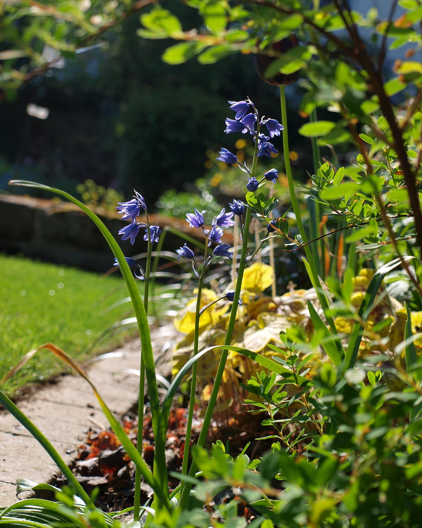 Lush Garden Design Bluebells as Part of Successional Planting